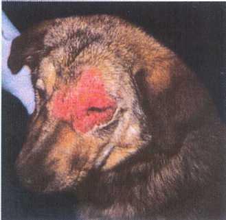 фото парша у собак
